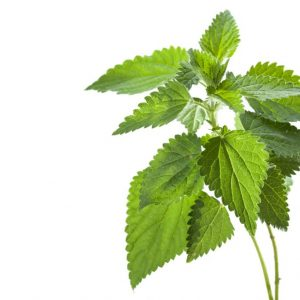Stinging nettles may treat cancer
